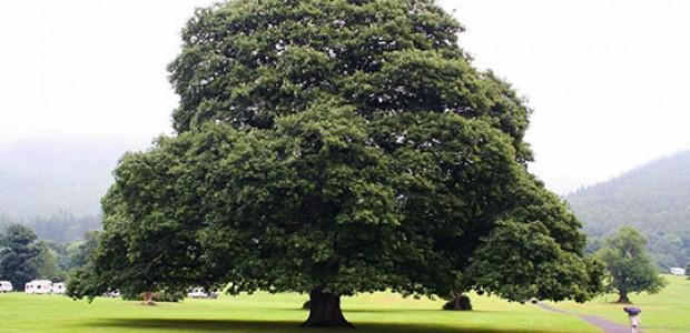 Какое дерево мы используем при изготовлении мебели